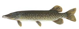 Northern pike - 11